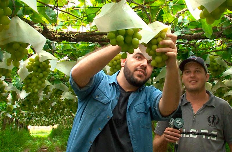 Acesso mostra o processo de cultivo de uva